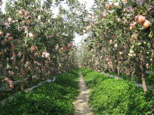 山西运城客户向我公司订购300吨苹果有机肥