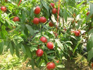 山东聊城冠县代理商与油桃种植基地签订450吨